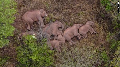 Milioane de oameni din China nu se pot opri din a privi un grup de elefanți în roaming